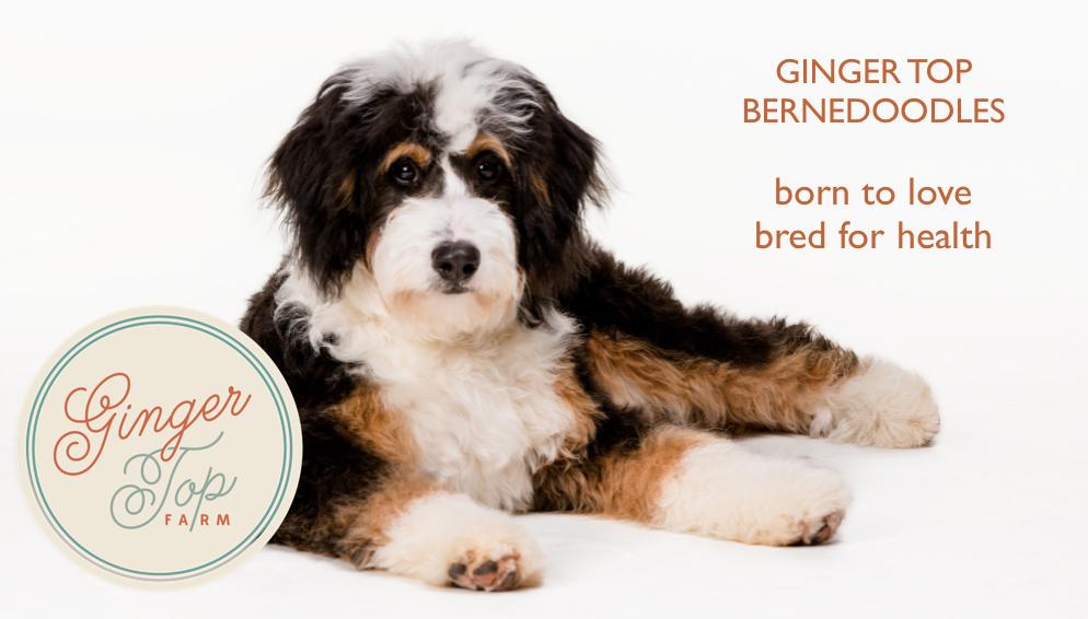 Bernese mountain dog miniature poodle mix
